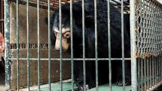 Microchips re-implanted in 200 captive bears in Hanoi hinh anh 1