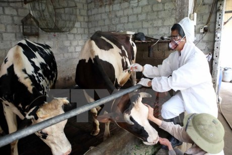 Cattle foot-and-mouth disease put under control hinh anh 1