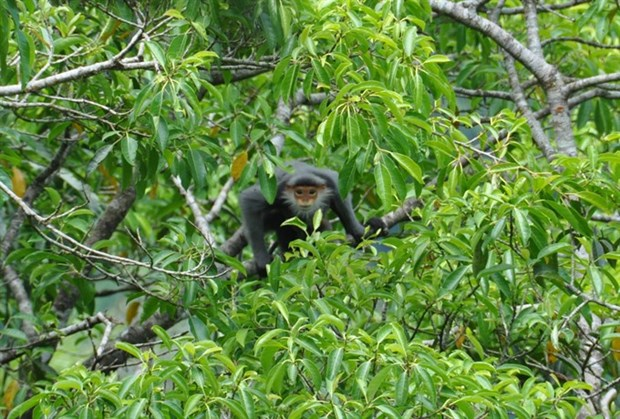 Quang Nam province protects primates from peril hinh anh 1