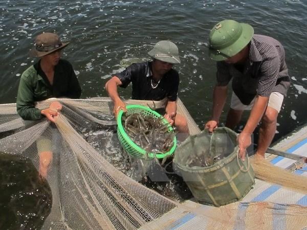 Phu Yen applies high technology in shrimp farming hinh anh 1