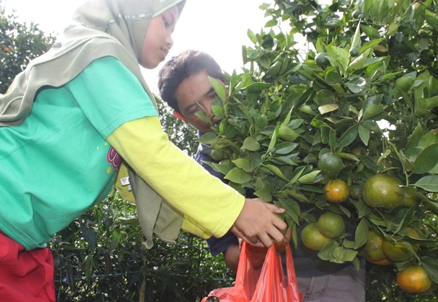 Indonesian gov't provides 5.5 trillion Rp for local fruit development hinh anh 1