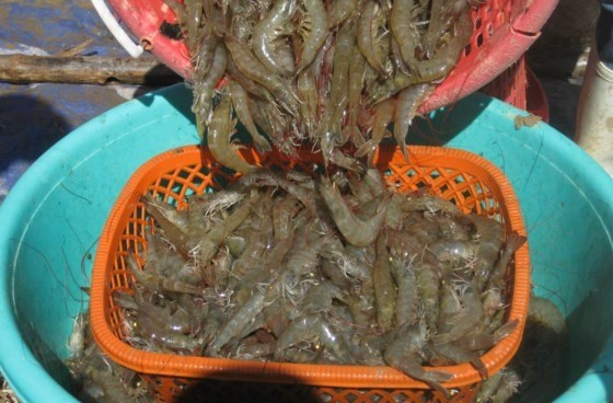 Dong Thap wants no white-leg shrimp farming in freshwater areas hinh anh 1