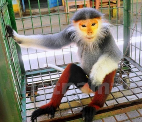 Rare primate handed over to Cuc Phuong park hinh anh 1
