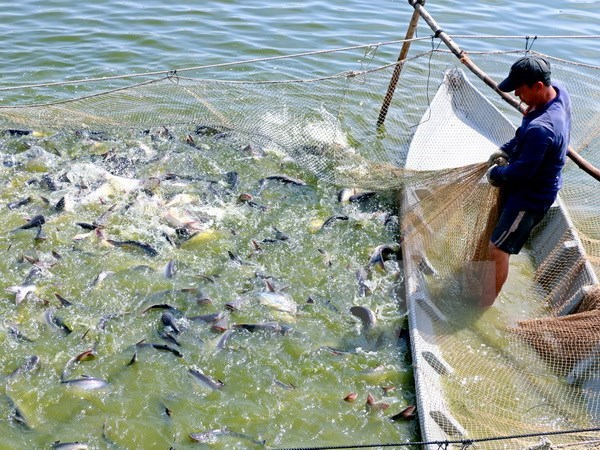 New programme to tighten control of catfish exported to US hinh anh 1