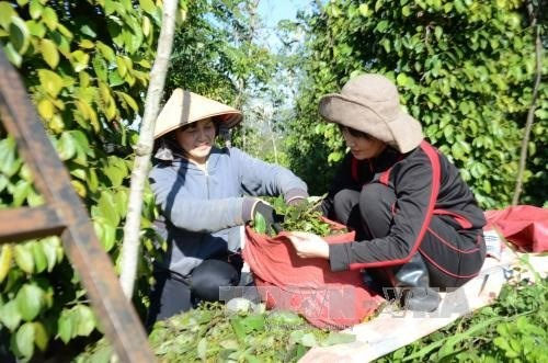 Pepper growers reap organic farming benefits hinh anh 1