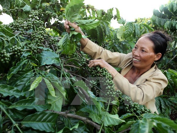 Coffee value to increase despite output dropping hinh anh 1