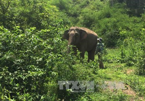 Hungry wild elephants hurt domestic ones hinh anh 1