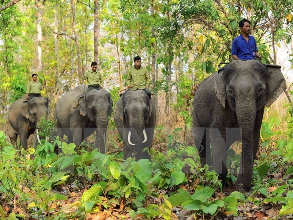 Elephant sanctuary established in Quang Nam hinh anh 1
