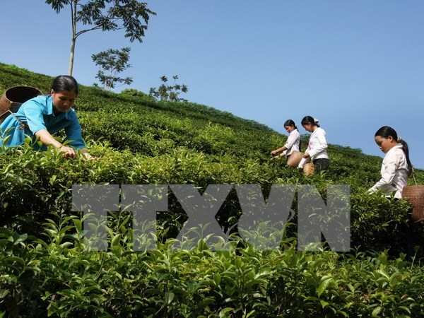 Vietnamese tea exporters enjoy robust achievements hinh anh 1