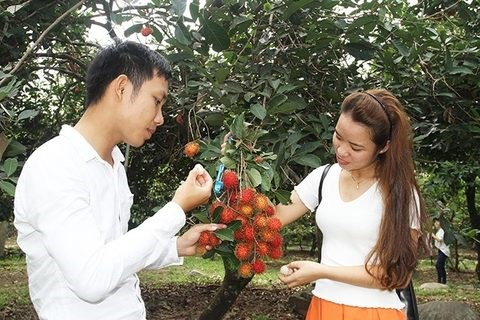 Ninh Thuan's orchards opened for visitors hinh anh 1