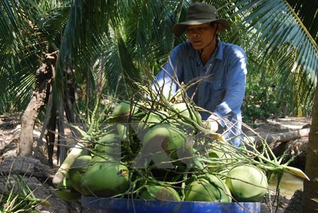 Coconut farming remains languishing hinh anh 1