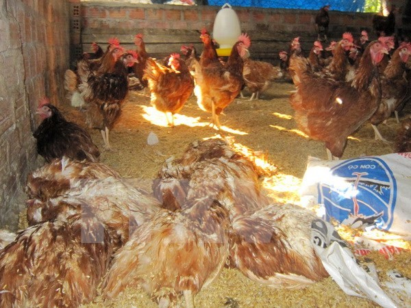 Vietnam to produce own avian influenza vaccine from 2018 hinh anh 1