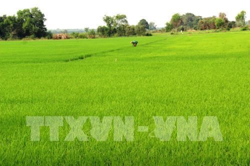 Hau Giang to experiment RoK bio-products on rice hinh anh 1