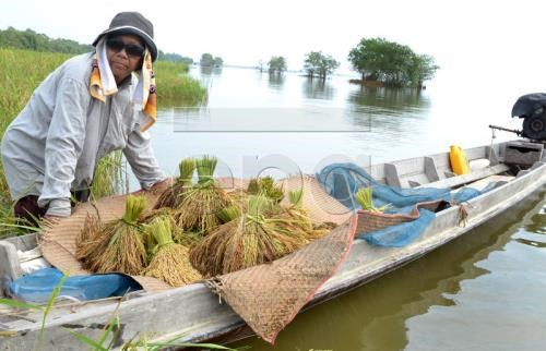 Thailand: Cabinet approves rice support package hinh anh 1