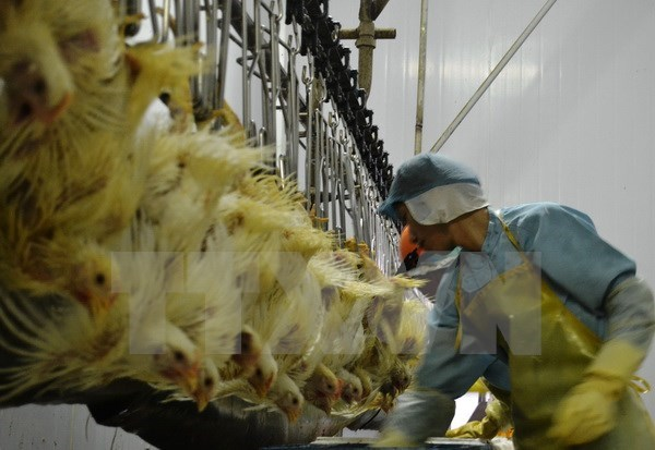 EU, promising market of Vietnamese chicken meat hinh anh 1