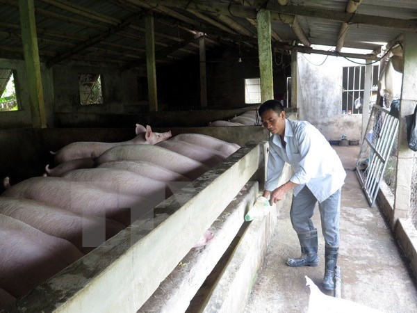 Nam Dinh, Thai Binh develop disease-free pig production for export hinh anh 1