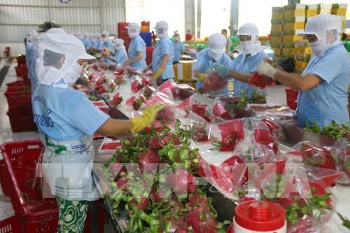 More Vietnamese dragon fruits shipped to Australia hinh anh 1