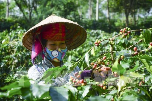 Son La coffee geographical indication announced hinh anh 1