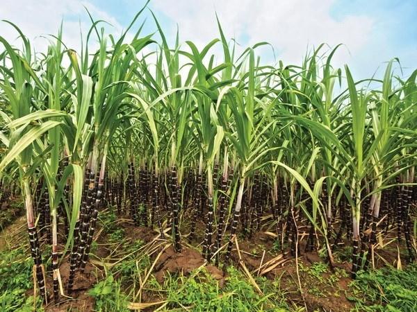 Vietnam ships sugar to 28 markets hinh anh 1