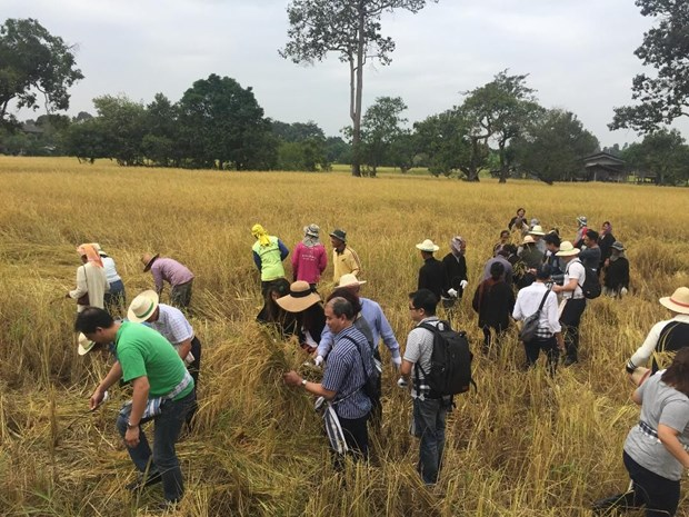 Thailand works to develop organic rice market hinh anh 1