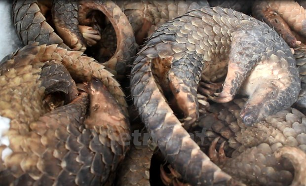 Malaysia rescues 140 pangolins in border area with Thailand hinh anh 1