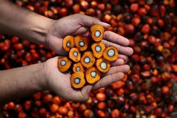 Malaysia, Indonesia to counter EU discrimination against palm oil hinh anh 1