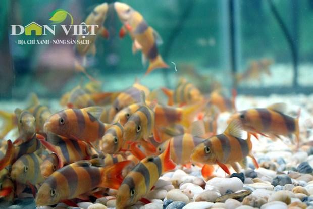 Ho Chi Minh City boosts ornamental fish exports hinh anh 1