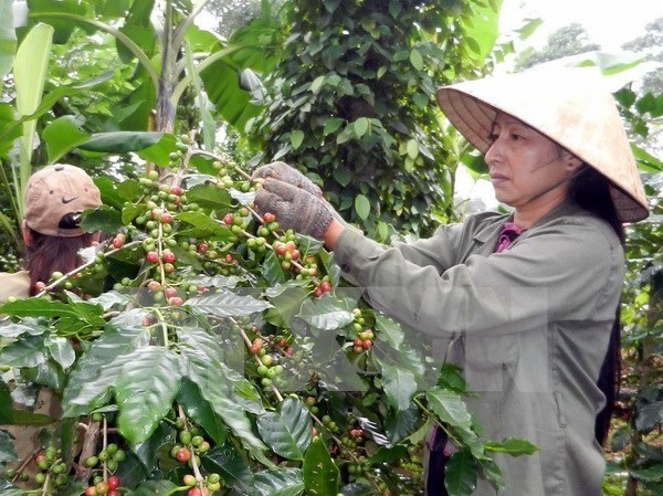 Vietnam to build upscale coffee brand hinh anh 1
