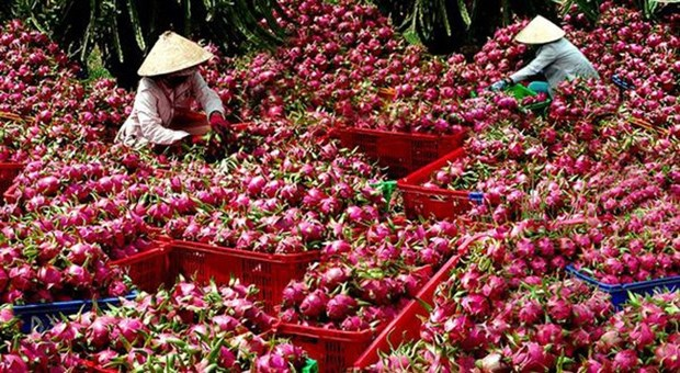 Long An aims to up dragon fruit exports hinh anh 1