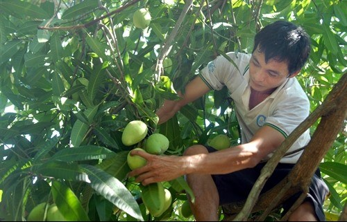 US allows import of VN mangos hinh anh 1