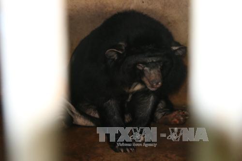 Six Tibetan bears in Binh Duong rescued hinh anh 1