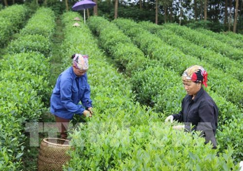 33 percent of farming cooperatives efficiently operate: Ministry hinh anh 1