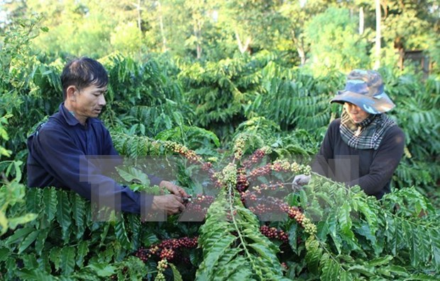 National project seeks to improve coffee quality, develop premium brand hinh anh 1