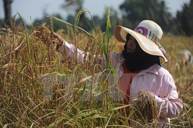 Thai farmers receive support to reduce rice-cultivated areas hinh anh 1