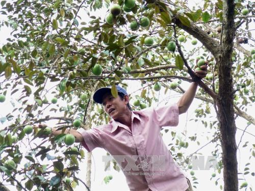 Tien Giang star-apple fruit breaks into US market hinh anh 1