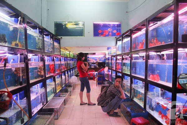 Ornamental fish breeders should scale up: experts hinh anh 1