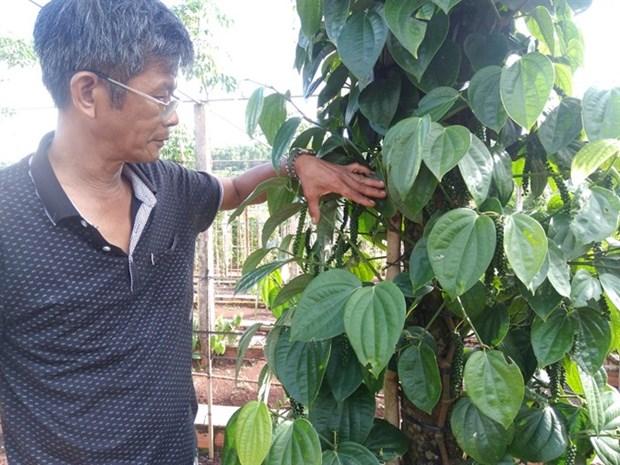 Gia Lai pepper farmers developing Sri Lanka plant hinh anh 1