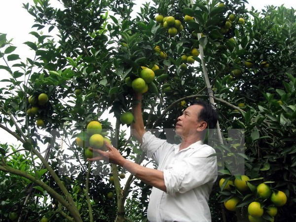 Vinh orange fair opens in Nghe An hinh anh 1