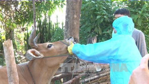 Production of Vietnam's first foot-and-mouth vaccines to start in Q2 hinh anh 1
