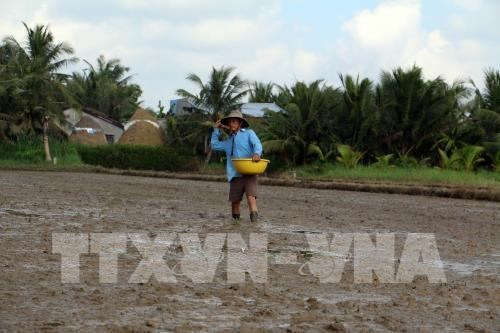 Southern Winter-Spring rice crop area down due to floods hinh anh 1