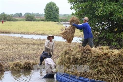 Farmers earn high profits from clean shrimp-rice cultivation hinh anh 1