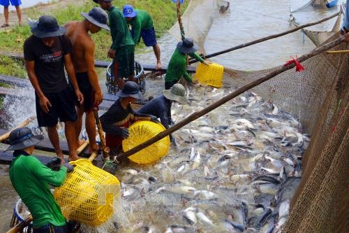 Tra fish prices at highest level in last 20 years hinh anh 1