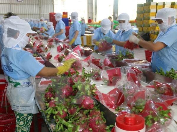 Binh Thuan set to grow 9,800 ha of VietGAP dragon fruits in 2018 hinh anh 1