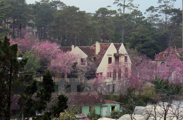 Da Lat cherry blossom festival to return this month hinh anh 1