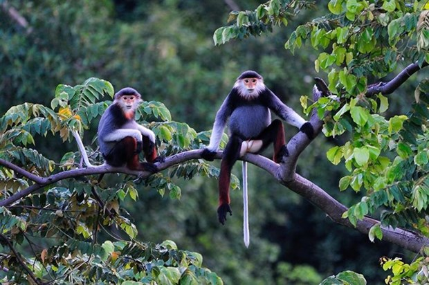 Hotels, resorts threaten rare primates hinh anh 1