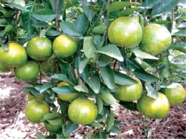 Thua Thien-Hue expands Nam Dong orange farm hinh anh 1