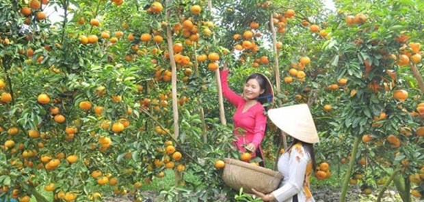 Tangerine farms in Dong Thap ready for visitors during Tet hinh anh 1