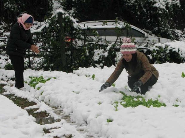 Farmers incur losses due to cold hinh anh 1
