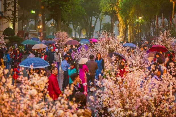 Cherry blossom festival to take place in Hanoi in March hinh anh 1