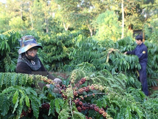 Vietnam, Indonesia step up cooperation in coffee sector hinh anh 1